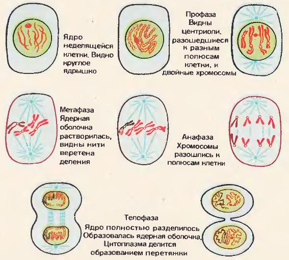 Митоз клетки животных
